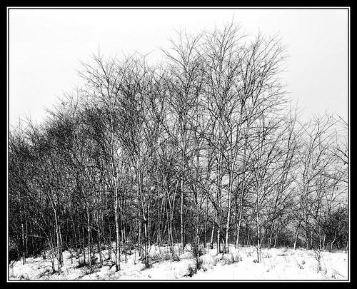 Ilford trees bw (by Silver Image)