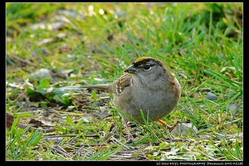 Golden-crowned Sparrow (Zonotrichia atricapilla)