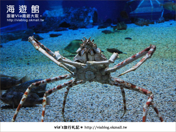 【via關西冬遊記】世界最大極的水族館~大阪海遊館25