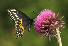Thistle (DrPhotoMoto) Tags: butterfly thistle ngc northcarolina picnik blackswallowtail richmondcounty papiliopolyxenes theunforgettablepictures