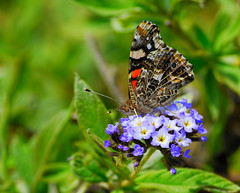 Butterfly in Lomas de Lucumo (danielpan) Tags: peru lima lomasdelucumo theoriginalgoldseal