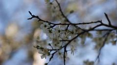 anunciando primaveras (raitana_mora) Tags: fado onblue delicadas efmeras flordeunda etreas frgiles promesadeciruelas conlaprimeracariciadelsol lavozdemariza contantosmatices yesasmanosexpresivas
