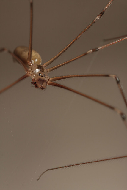 Longbodied Cellar Spider (Pholcus phalangioides)