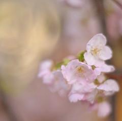 梅田 Cherry flowers