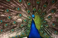 El Rey - Pavone Reale (Francesco Littmann - Doc Savage) Tags: peacock orton ruota pavo pavone plumage peacocktail piume codadelpavone peacockplumage pavonereale