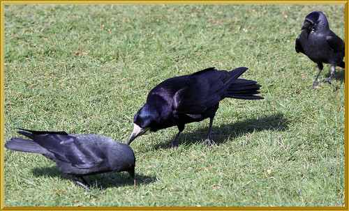 Rook and Jackdaws 3