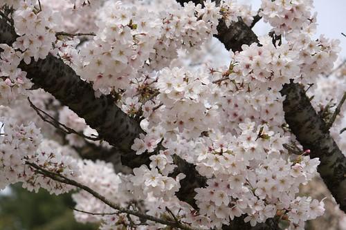 Prunus × yedoensis ソメイヨシノ