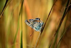 (ssj_george) Tags: blue orange plants macro nature closeup canon butterfly insect eos rebel is weeds kiss colorful cyprus f fields xs efs πεταλούδα f456 55250 photographyblog agglisides 55250mm κύπροσ 1000d agkleisides αγκλεισίδεσ αγγλισίδεσ sonyphotochallenge