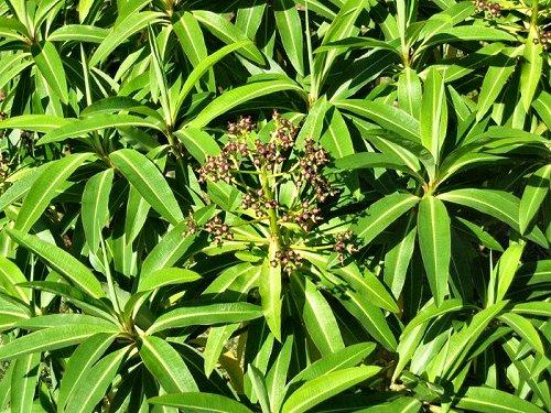 20100409-rq-monte-06-Euphorbia mellifera