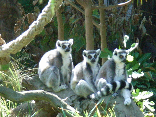 These are Melbournian Lemurs