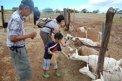 Owen feeding goats