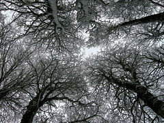 Mira parriba, te dicen... (Mono Andes) Tags: chile trees winter tree forest trekking backpacking bosque rbol andes invierno 2009 lengas parquenacional fagaceae parquenacionalpuyehue regindeloslagos nothofaguspumilio