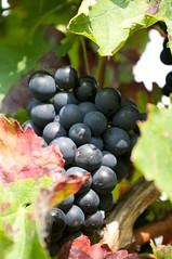 Herbst in der Pfalz: Woi (frederick.s) Tags: herbst pfalz wein trauben traube smcpentaxda1855mmf3556alii