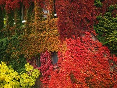 Autumnally House-Front (Andy von der Wurm) Tags: fall leaves am flora frankfurt colorfull main jahreszeiten explore blaetter bltter frankfurtmain efeu farbenfroh blueribbonwinner herbstlich autumnally theperfectphotographer andreasfucke