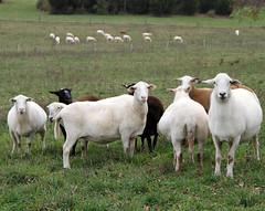 Sheep 201: Balancing rations