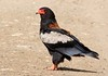 Bateleur-male by Jacques de Villiers
