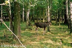 Halbstarker Elch (sntssche) Tags: germany deutschland zoo moose sachsen alemania elk elan wald allemagne germania elch wildgehege moritzburg alce tiergehege wildfütterung alcesalces eurasianelk wildtiergehege earthasia worldtrekker