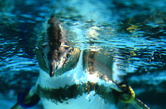 A curious gaze! (Spice  Trying to Catch Up!) Tags: ocean camera blue shadow sea urban color macro green art water strange japan swim canon geotagged photography eos lights penguin photo interesting wings eyes asia flickr colours underwater image photos ripple picture blogger livejournal explore photograph collections  vox gaze glance     seabird gettyimages facebook   friendster multiply        twitter colorphotoaward  canoneos7d twitpic  2009  imagemonster