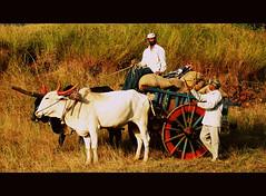 Son of Soil! [Explored!] (D a r s h i) Tags: chart village farming son bulls soil crops farmer pune harvesting darshi pabe darshita