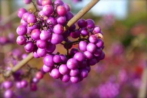 Beautyberry is truly beautiful