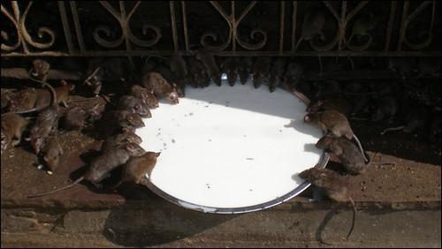 Rats drinking milk in Karni Mata Temple