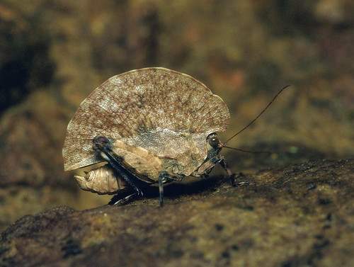 Dolatettix sp. (Tetrigidae: Cladonotinae)