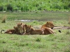 baby lions (daniel virella) Tags: africa wild nature animals tanzania unescoworldheritagesite safari ngorongoro lions cubs
