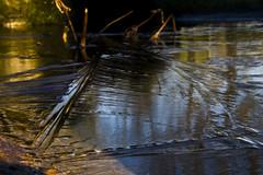 """""""liblula  en invierno"""" (Tinta China2007) Tags: luces estanque dormir esperando liblula hielo caballitodeldiablo congelada esperandoelcalor valagume"""
