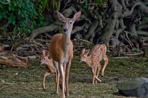White-tailed Deer with two fawns on beach of seaweed