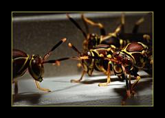 Hibernation (eurisko) Tags: macro photography don imaging wasps carpenter lubbock eurisko wwweuriskoimagingcom