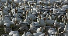 68EV0162 (sgbaughn) Tags: geese goose snowgeese snowgoose
