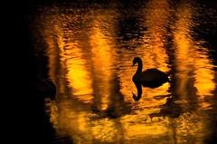 Grace in these times (gcquinn) Tags: sanfrancisco haiti swan geoff quinn geoffrey palaceoffinearts reflectingpool blackswan exploratorium superaplus aplusphoto
