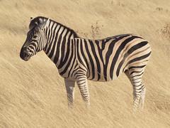[フリー画像] [動物写真] [哺乳類] [馬/ウマ] [シマウマ]       [フリー素材]