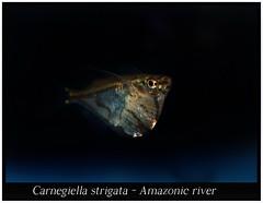 Carnegiella strigata_800_01 (Bruno Cortada) Tags: malawi marino mbunas cclidos sudafricanos tanganyica