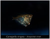 Carnegiella strigata_800_01 (Bruno Cortada) Tags: malawi marino mbunas cíclidos sudafricanos tanganyica