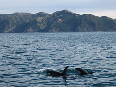 Orcas, Kaikoura, New Zealand (twozero3) Tags: newzealand watch orca kaikoura killerwhale orcas quotwhale kaikouraquot