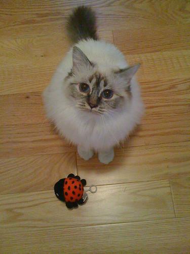 the color of our cats la couleur de nos chats birman cats lovers flickr. Black Bedroom Furniture Sets. Home Design Ideas