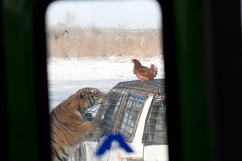 Siberian tiger and dinner