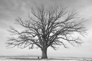 celestial oak