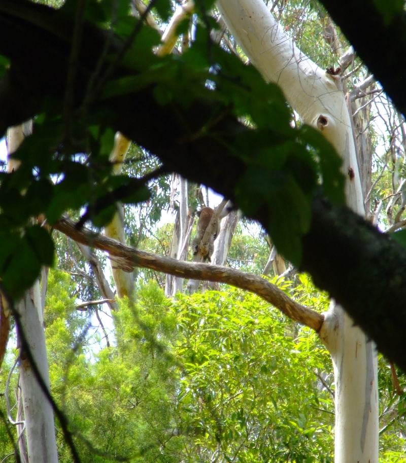 found the koala