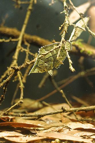 zsouth-american-leaf-fish1
