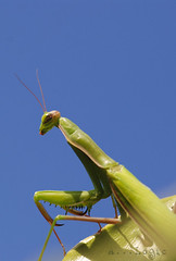 mantis on sky (Antoniologic  http://www.antonioleo.it/) Tags: light sky color macro animal mantis insect photo nikon dof natural leo hunting natura bugs cielo ambient elegant antonio supermacro puglia animali luce prayingmantis insetti entomology sunligth sb800 hemiptera explor mantodea mantidae entomologia esplora lucepolarizzata justnature nikond80 kenkotubes lucesolare buzznbugz macromarvels macrolife unbeliveble 100mmtokina beautifulmonsters macroenaturaripresadavicino macromantide antoniologic supermacronotcropped sb800morediffusor photographicworks antonioleoit httpwwwantonioleoit