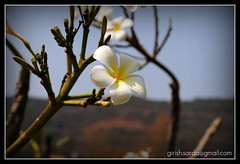 Chafa - Clicked at Lavasa (girishsarda18) Tags: white flower yellow nikon girish sarda chafa lavasa d3000 indianflower girishsarda