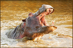 Happy Hippo (hvhe1) Tags: africa playing nature pool animal southafrica mammal happy bravo wildlife safari explore hippo frontpage nijlpaard malamala rattray interestingness26 specanimal hvhe1 hennievanheerden malamalaprivategamereserve