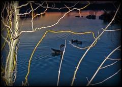 Rendez-vous discret (Agnès Willette (noushka7)) Tags: nature eau lac paysage animaux coucherdesoleil oies gers sudouest midipyrénées lislejourdain panasonicfz28