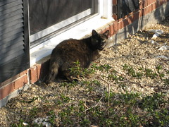 Sarah the half-tailed cat (innergeek) Tags: cats amputee