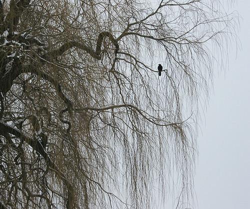 Salix vitellina var. pendula