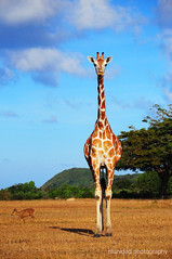 Spotted! (Three less neurons per minute) Tags: sky philippines deer safari spots giraffe palawan goldengrass calu