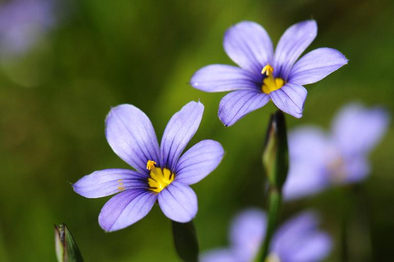 web_violettwofacingsun_wildflowers_0176_2606