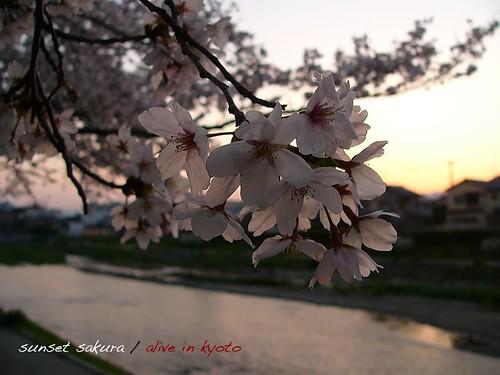 sunset sakura 1